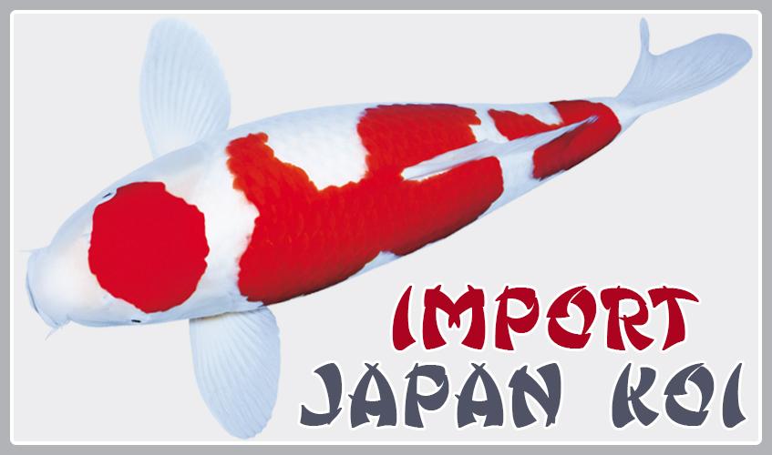 Karpie koi for Japan koi import
